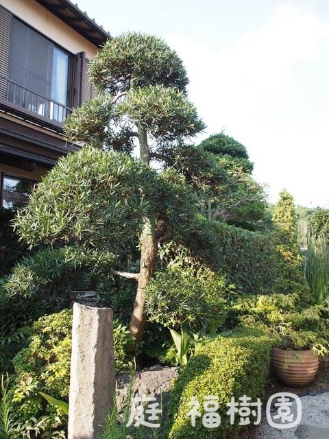 剪定後のマキの樹